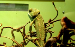 Chameleon boy